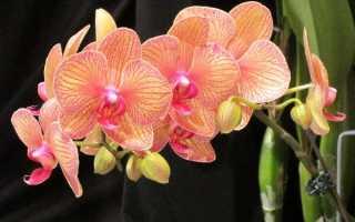 Орхидеи: уход в домашних условиях, полив, пересадка, размножение (фото)