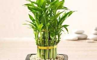 Комнатный бамбук: уход в домашних условиях, размножение, болезни (фото)