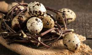 Как хранить перепелиные яйца: где и сколько