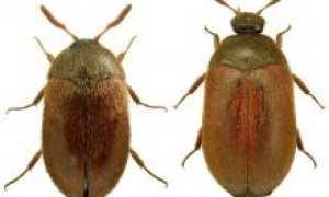 Кожеед: ветчинный, ковровый и другие виды, откуда берутся и как избавиться от насекомых