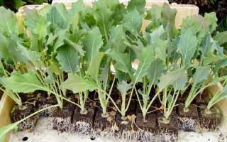 Как вырастить рассаду капусты кольраби в комнатных условиях: уход, фото