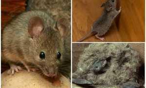 Как поймать мышь без мышеловки: ловля грызунов с помощью пластиковой бутылки, банки и других средств