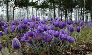Как сохранить крокусы после цветения в комнатных условиях