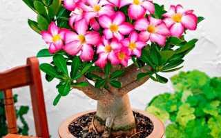 Комнатный цветок адениум: уход и размножение, болезни (фото)
