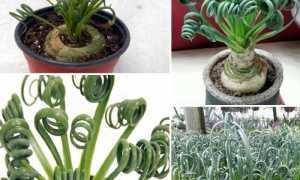Альбука спиральная: уход в домашних условиях (фото), болезни, пересадка, размножение