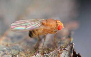 Мухи дрозофилы: откуда берутся мелкие плодовые мошки и их личинки, как от них можно избавиться