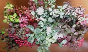 Фиттония: уход в домашних условиях (фото), цветение, размножение