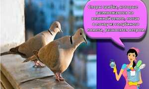 Как избавиться от голубей на балконе, на подоконнике, отрава