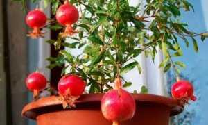 Как вырастить гранатовое дерево из косточки в домашних условиях