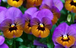 Как вырастить рассаду виолы (анютиных глазок) дома: уход, фото