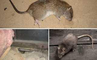 Как избавиться от крыс в частном доме: химические средства, ловушки и отпугиватели, народные методы