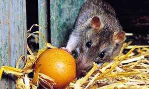 Отрава для крыс: эффективные яды от грызунов своими руками