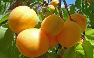 Выбираем саженцы абрикоса: основные правила и рекомендации
