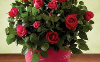 Комнатные розы в горшках как за ними ухаживать